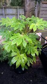 Fatsia japonica evergreen hardy shrub potted 110cm tall