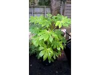 Fatsia japonica evergreen hardy shrub potted 110cm tall