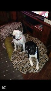 Lost black and white staffy in woolgoolga Woolgoolga Coffs Harbour Area Preview