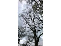 T Cooke Tree Services, Tree Deadwooding, Pruning, Felling, & Planting. Hedge Trimming