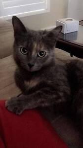 Female Rescued Cat - Cat Rescue Newcastle Thornton Maitland Area Preview