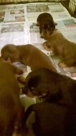 chocolate and tan minature dachshund