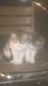 2 beautiful Kittens READY NOW