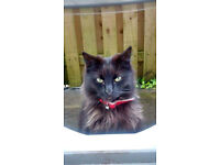 REWARD OFFERED gorgeous missing black long haired cat 'gremlin' microchipped