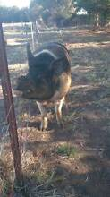PIG FOR SALE - 5 YEAR OLD BOAR Ocean Grove Outer Geelong Preview