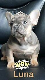 ilac tan girl frenchbulldog