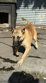 5month old mali dog
