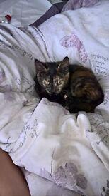 Beautiful female kitten ST3