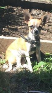 Lost small male chihuahua - Zillmere Zillmere Brisbane North East Preview