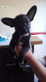 CHIHUAHUA X CHINESE CRESTED MALE PUPPIES READY NOW