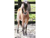 American Miniature Horse For Sale