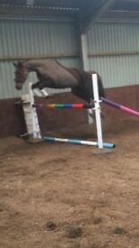 Lovely horse for sale - bsja allrounder