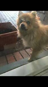 Pomeranian X Maltese female Meadow Heights Hume Area Preview