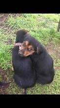 Huntaway Puppies Albury Albury Area Preview