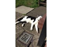 Missing cat sparkle nearly 3 years old been missing for two days last seen in brinington