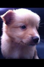 Chihuahua x Pomeranian puppy Canley Vale Fairfield Area Preview