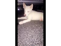 One white Siberian husky