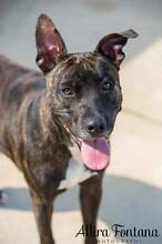 """""""ANGIE""""  Medium Female Staffordshire Bull Terrier 1yr old Mulgrave Hawkesbury Area Preview"""
