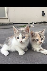 Ragdoll x kittens Rooty Hill Blacktown Area Preview