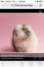 WANTED:  male guinea pig :WANTED Beaudesert Ipswich South Preview