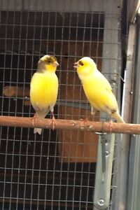 WHISTLING CANARIES Belmont Lake Macquarie Area Preview