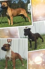 Staffordshire Bull Terrier Pups Cessnock Cessnock Area Preview