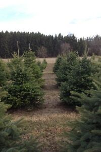 BLUE SPRUCE AND BALSAM FIR TREES 4-6 FEET