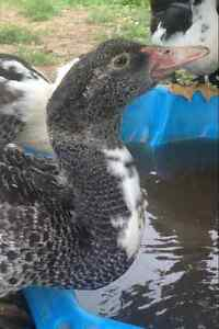 13 Muscovy Ducklings for sale Hahndorf Mount Barker Area Preview