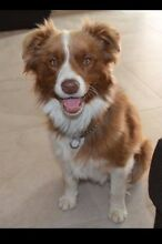 LOST BROWN WHITE BORDER COLLIE NAMED-  INDIE Wandong area Wandong Mitchell Area Preview