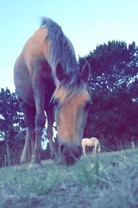 Welsh x Riding Pony Mare For Sale Narrikup Plantagenet Area Preview