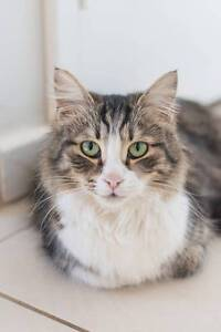 AC0492 : Beatrix - CAT FOR ADOPTION - Vet Work Included Ballajura Swan Area Preview
