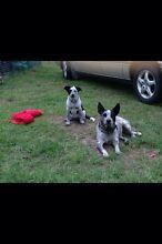 Lost dogs Parramatta Park Cairns City Preview