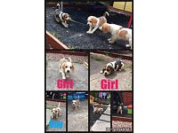 1 Girl and 1 Boy Beagle Puppies ***FOR SALE***