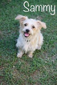SAMMY, MALTESE, 1 YEAR OLD MALE AVAILABLE TO ADOPT Kirwan Townsville Surrounds Preview