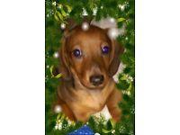 Miniature red rabbit dachshund