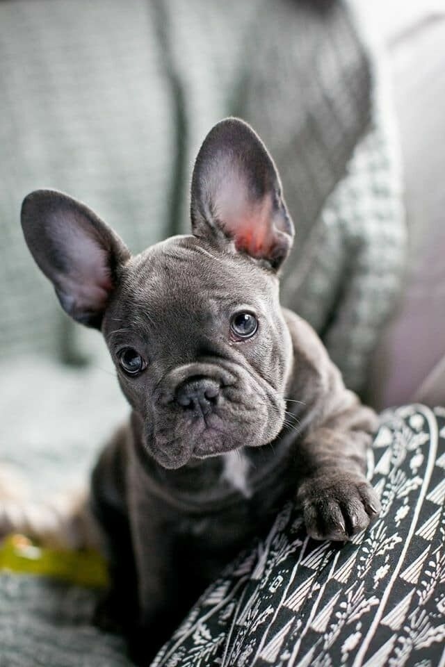 Blue French Bulldog Puppy In Mile End London Gumtree
