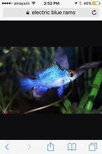 2 female Electric Blue Rams Annandale Leichhardt Area Preview