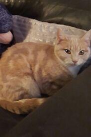 Lovely ginger female cat 1year old