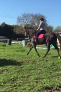 11 yo mare suit trail riding/adult riders Kyabram Campaspe Area Preview