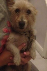 Jack Russell female for sale