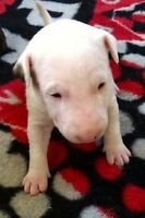 Bull Terrier- Don Cherry dog Puppies
