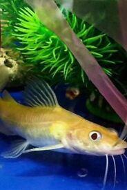 Albino catfish