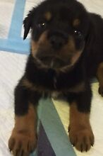 Male Rottweiler pup Raceview Ipswich City Preview
