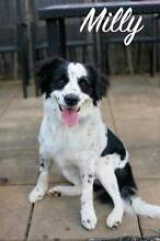 MILLY, Cocker SpanielxBorder Collie, 1 year 9 months old, Female Kirwan Townsville Surrounds Preview