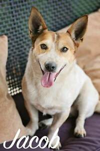 JACOB, Jack Russell x Corgi, 3 years old, male Kirwan Townsville Surrounds Preview