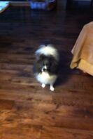 CKC registered unspayed pomeranian