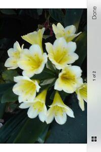 Clivias- Rare cream flowering,mature offset. Dodges Ferry Sorell Area Preview