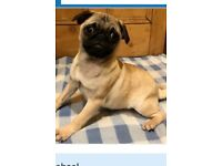 RESERVED pug pup Forsale bargain £400