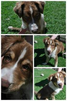 BORDER COLLIE PUP REG. DOGS QUEENSLAND TOP QUALITY Albany Creek Brisbane North East Preview