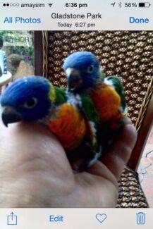 Baby lorikeets hand reared  Tullamarine Hume Area Preview